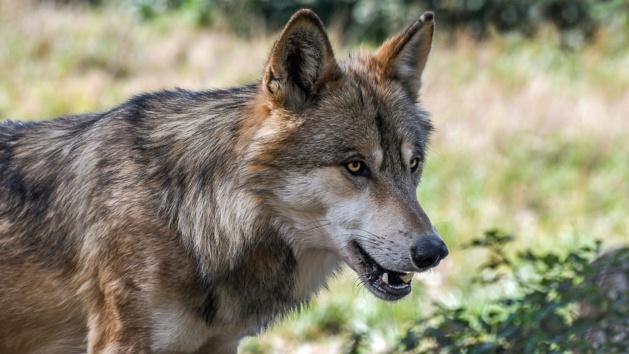 Somme : un loup gris identifié