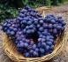 Oenococcus oeni, ou les mystères de l'acidité du vin