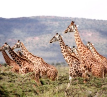 Les biologistes découvrent qu'il existe quatre espèces de girafes