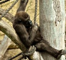 Nathalie Baye au secours des grands singes menacés