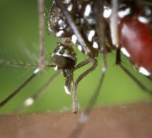 Du sucre pour limiter les piqures de moustiques