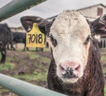 Trois vaches emportées par un ouragan survivent en nageant plusieurs kilomètres