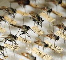 Des moustiques OGM pour lutter contre Zika